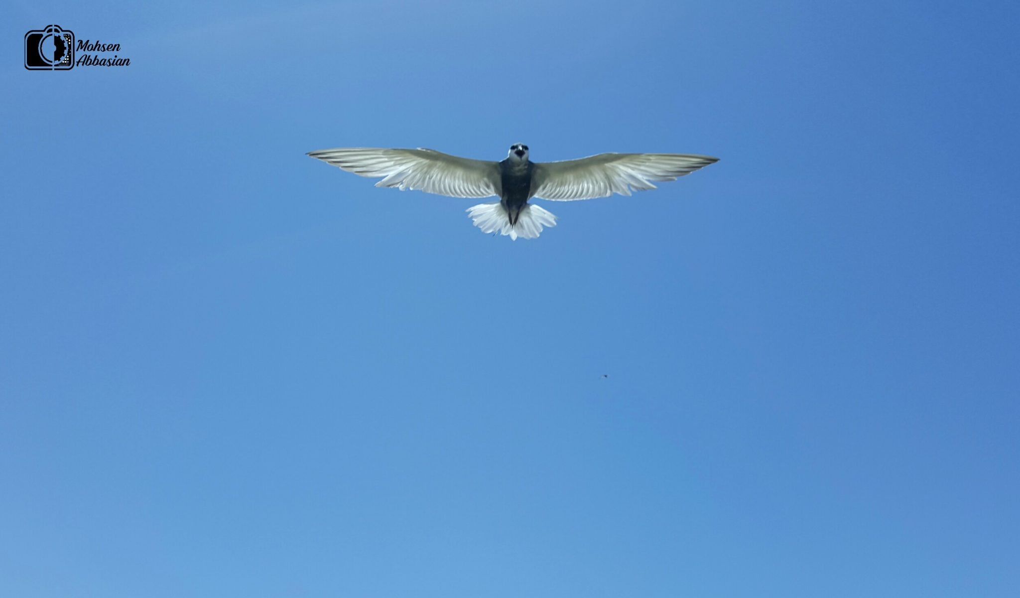 تصویری زیبا از پرستو دریایی (جیغک) در حال پرواز