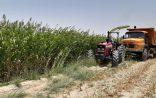 سیستان و بلوچستان در تولید سورگوم علوفه ای رتبه اول کشور شد